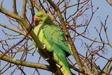 Feral rose ringed parakeet