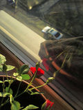 roses in my window