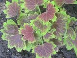 Fancy Geranium Leaves