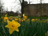 Daffodils in Colchester Castle grounds