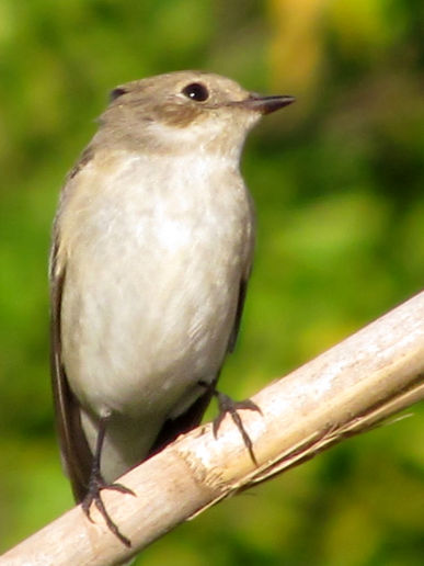 First Flycatcher Sighting