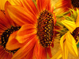Fiery Sunflowers