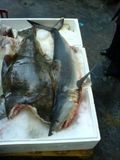 porbeagle and halibut