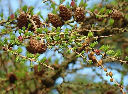 Larch buds, cones and flowers