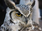 African eagle owl