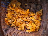 Chanterelles and blewits