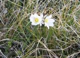 Falklands flowers 2
