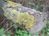 More lichens for Swamprose