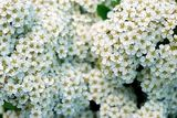Spiraea depth-of-field
