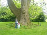 The largest plane tree in England...