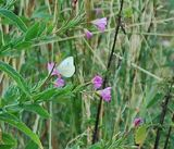 Things I saw today - cabbage white butterflies
