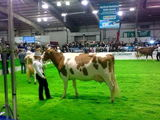 AgriScot '13 - Ayrshire Cow #139