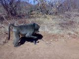 Baboon feeding in South Africa