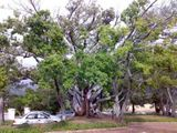 Giant Wild Fig Tree