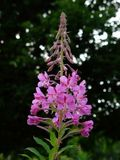 Rosebay willowherb on Aarhus campus