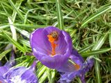 i was just trying to capture the crocus....