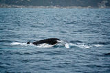 Whale watching, King George's sound, Albany