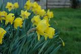 Row of Daffodils