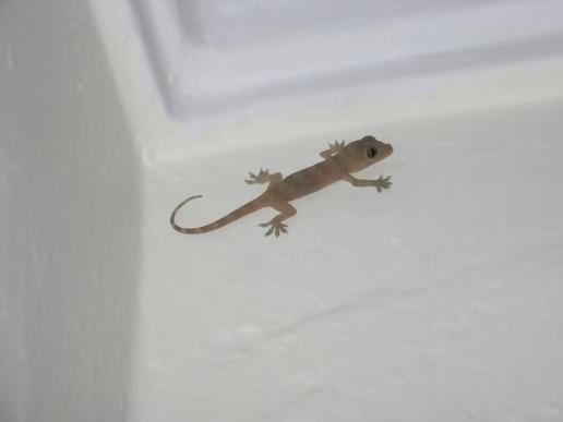 Baby Gecko