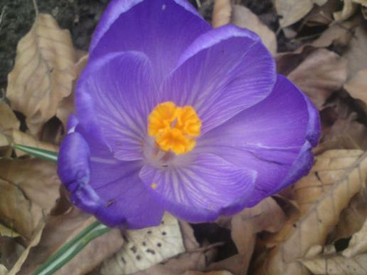 Crocus out of focus
