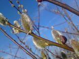 Pussy Willow and Catkins