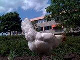 Our company chicken,....