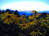 Flowers with a mountain backdrop