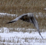 Hunting Adult Male Northern Harrier