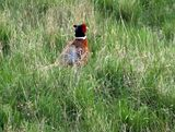 Pheasant Rooster