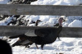 Wild Turkeys in a Barnyard