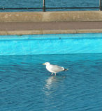 Seagull in paddling pool, swan on the sea!