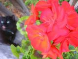 Crazy black cat & red flowers