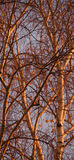 sunset birch