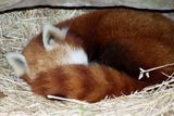 and beavers...and seals..and a sleepy red panda