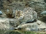 and tigers...and fishing cats