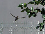 Flycatchers doing their thing, #1