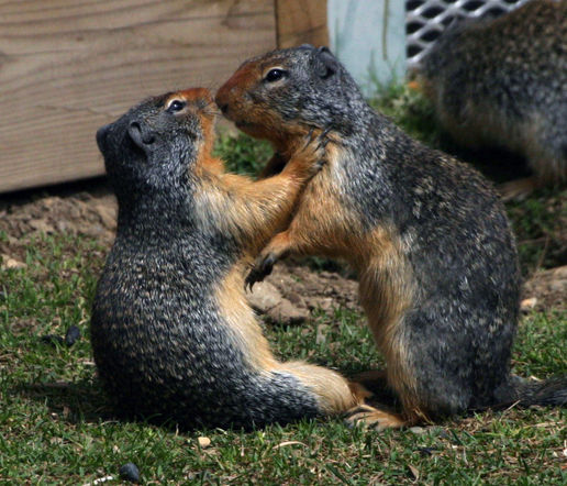 Ground Squirrels!