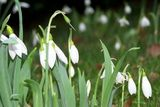 In snowdrop time