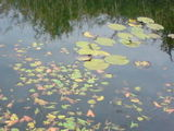 Leaves and lily pads...