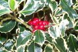 Now the holly bears a berry...