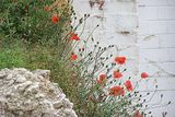 Poppies at the derelict mill