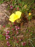 rock rose and wild thyme